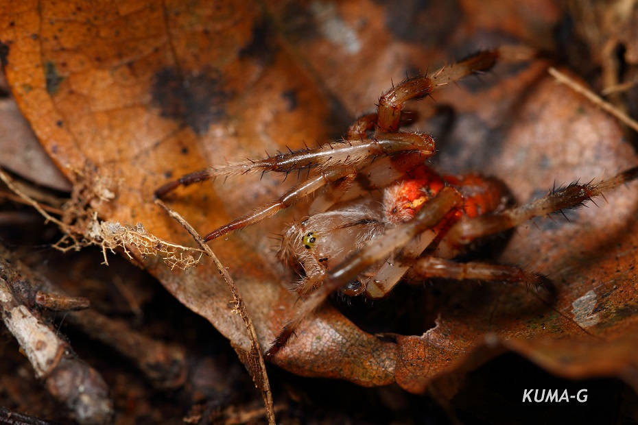 Araneus ishisawai
