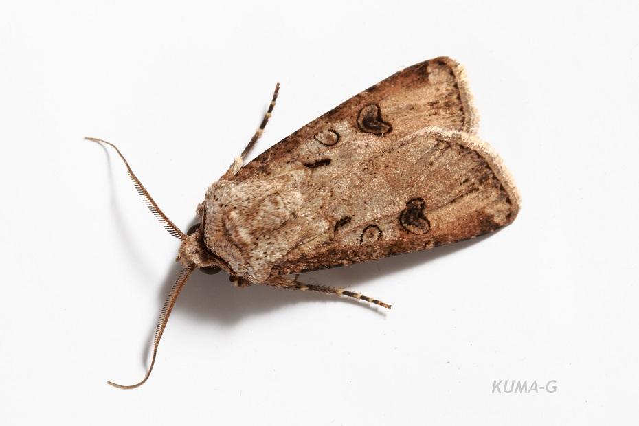 Hermonassa cecilia
