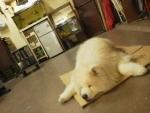 おうちに入れてくれないから作業場でふて寝