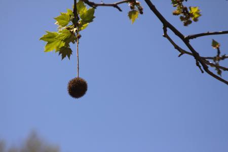 すずかけの木の実