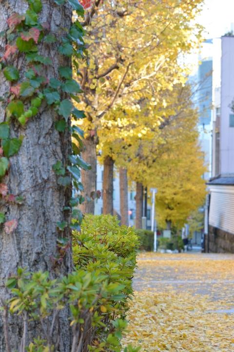 本郷通り銀杏並木