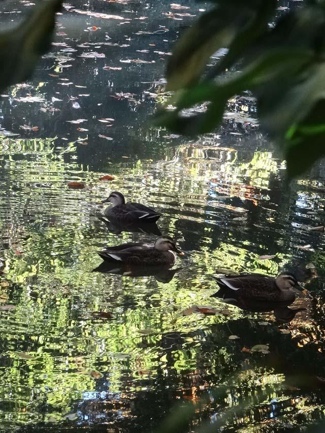 水面のカモ2