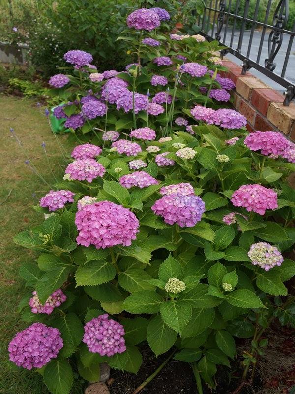 色鮮やかになった紫陽花
