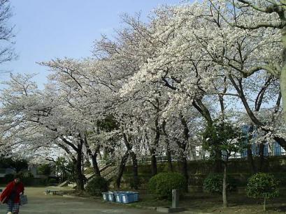 野毛山 桜250.JPG