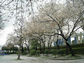 野毛山の桜3.jpg