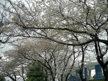 野毛山の桜5.jpg