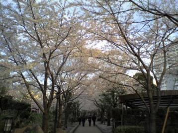 川口の桜4.JPG