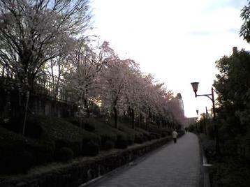 川口の桜7.jpg