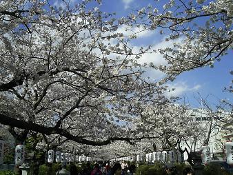 段葛の桜並木 (2).JPG