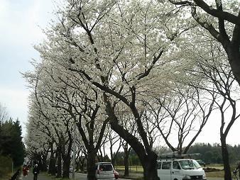 並木を歩道から.JPG