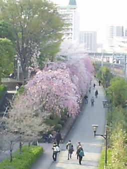 川口の桜並木 望遠.JPG