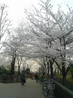 川口の桜.JPG