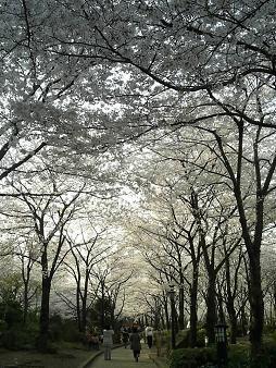 川口の桜 (1).JPG