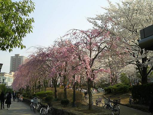 川口の桜並木 50.JPG