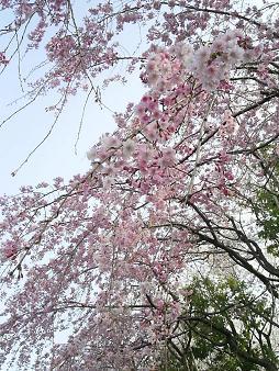 川口の桜 拡大.JPG