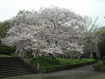 天保山の桜.JPG