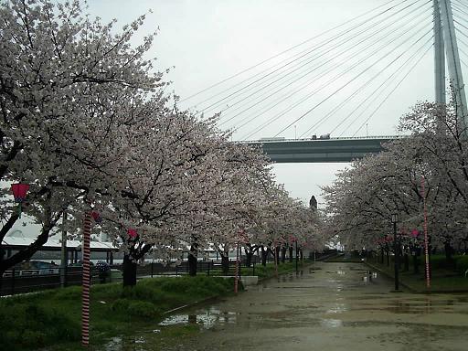 コピー ~ 天保山の桜 (2).JPG