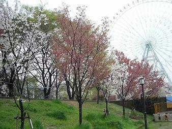 天保山の桜 と観覧車 (4).JPG