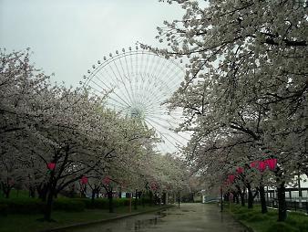 天保山の桜 と観覧車 (1).JPG