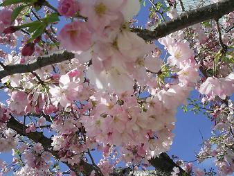 オアシス21の桜 (1).JPG