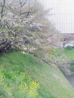 北の丸公園堀の桜.jpg