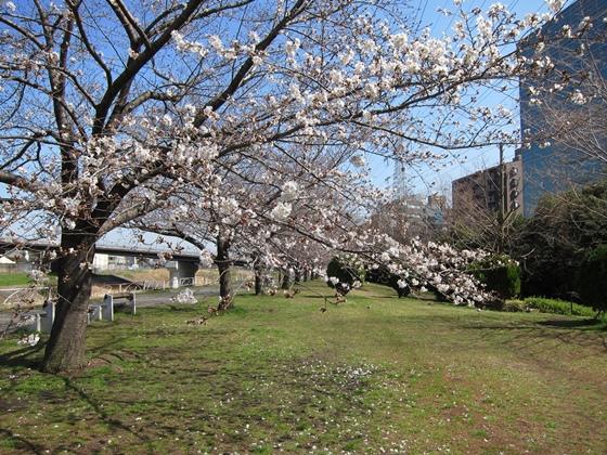0319桜開花003