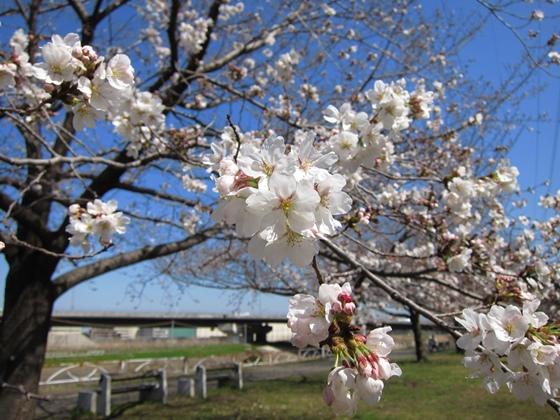 0319桜開花004