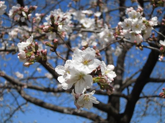 0319桜開花005