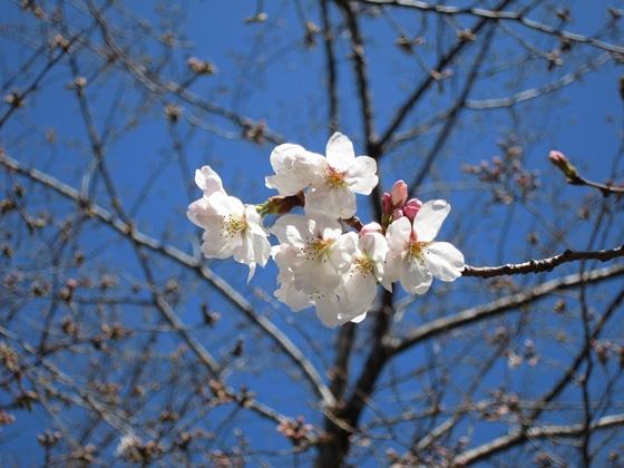 0319桜開花006