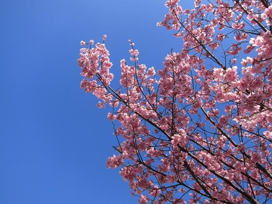 0319桜開花007