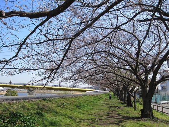 0319桜開花009
