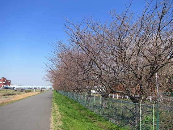 0319桜開花008