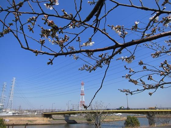 0319桜開花010