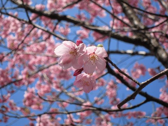 0319桜開花011