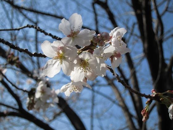 0319桜開花012