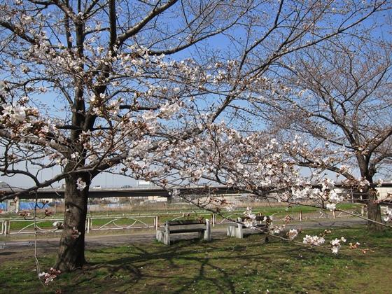 0319桜開花014
