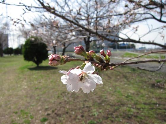 0319桜開花013