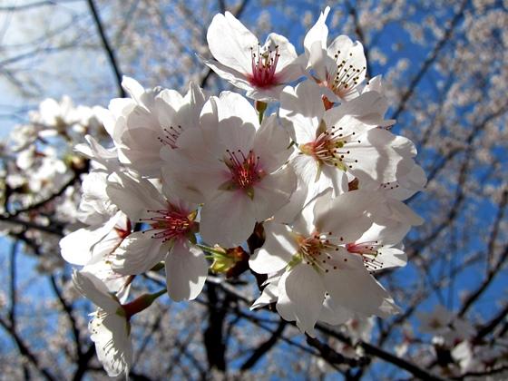 3月の花006