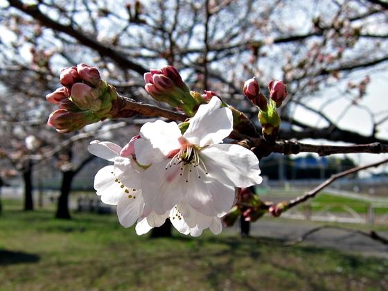 3月の花14