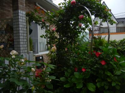 玄関前のバラ