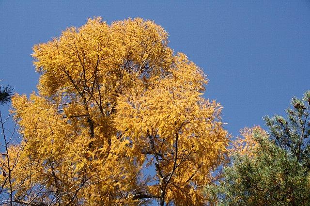 黄葉 カラマツ