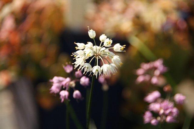 ラッキョウ 白花