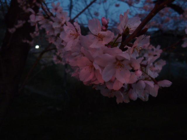 夜桜 032