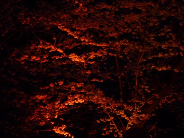 夜桜 041