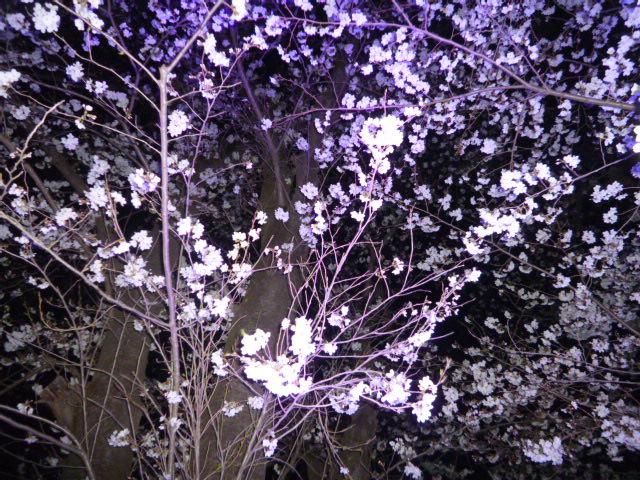 夜桜 056