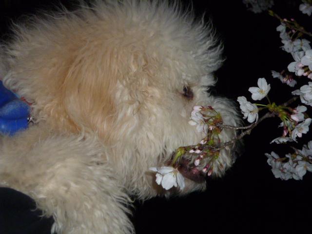 夜桜 060