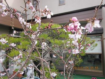 四季咲きの桜