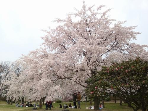 20130329_sakura_04