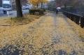 お濠端の公孫樹落ち葉