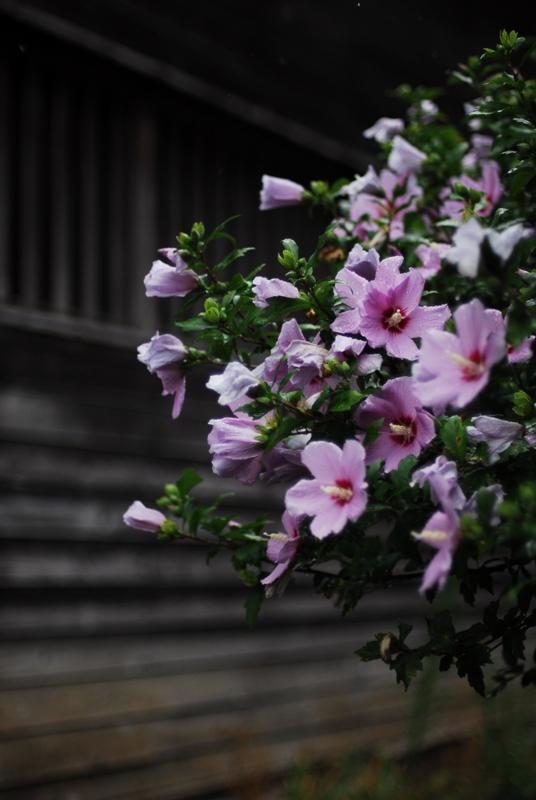 雨の中の芙蓉